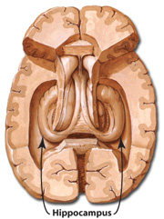 Transverse section showing a superior view of the hippocampus of each hemisphere