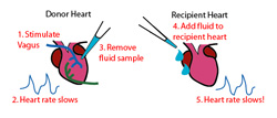 The fluid from the donor heart, which was just stimulated, causes the recipient heart to slow down