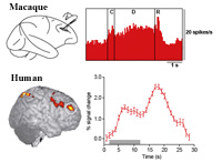Examples of monkey and human working memory neural activity